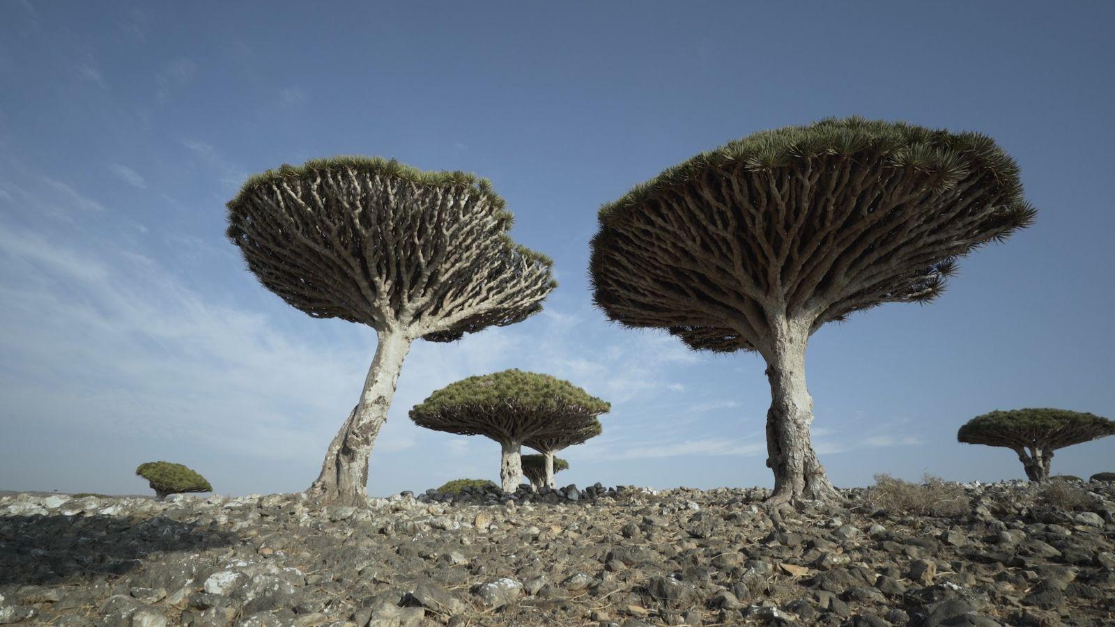 Admira los dragos de Socotra, unos árboles singulares y amenazados