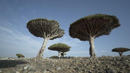VÍDEO: Descubre los dragos de Socotra, 'las Galápagos del Océano Índico'