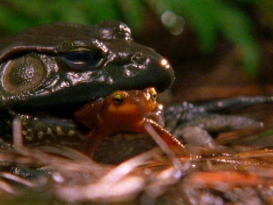 Un tritón evita la muerte tras ser engullido por una rana