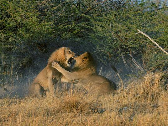 La lujuria une y divide: estos leones hermanos pelean por amor
