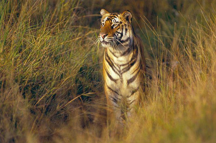 Un tigre de bengala de dos años de edad, visto en el Parque National de Bandhavgarh, ...