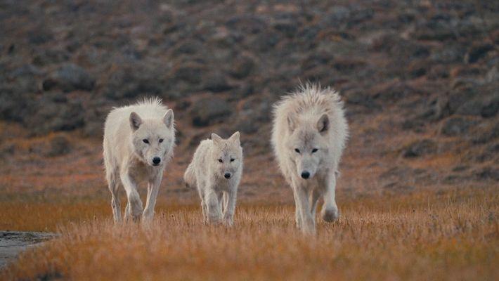 La reina loba y sus cachorros