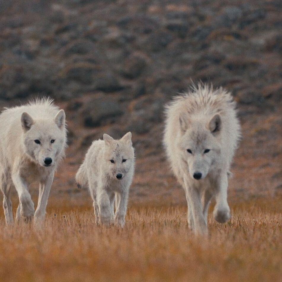 Vídeo: Así juegan esta reina loba y sus cachorros