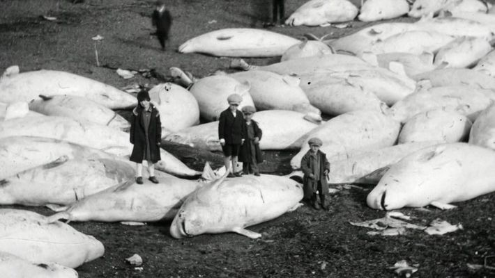 The almost extinction of the belugas