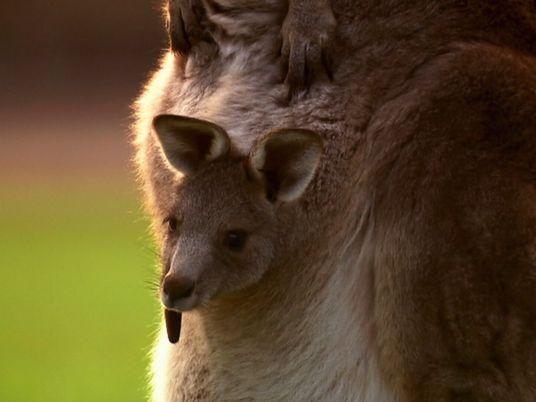 El increíble nacimiento de un bebé canguro