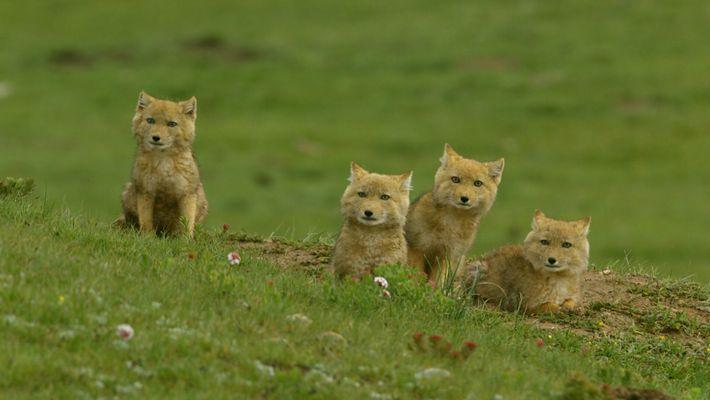 Unos adorables cachorros de zorro tibetano salen de su madriguera
