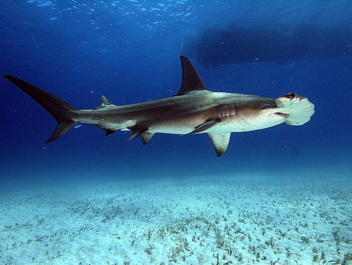 Gran tiburón martillo en Bimini