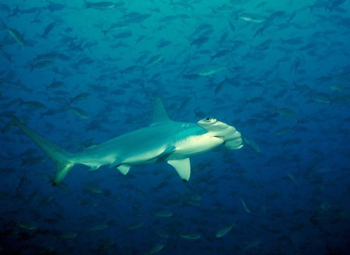 Tiburón martillo en las Galápagos