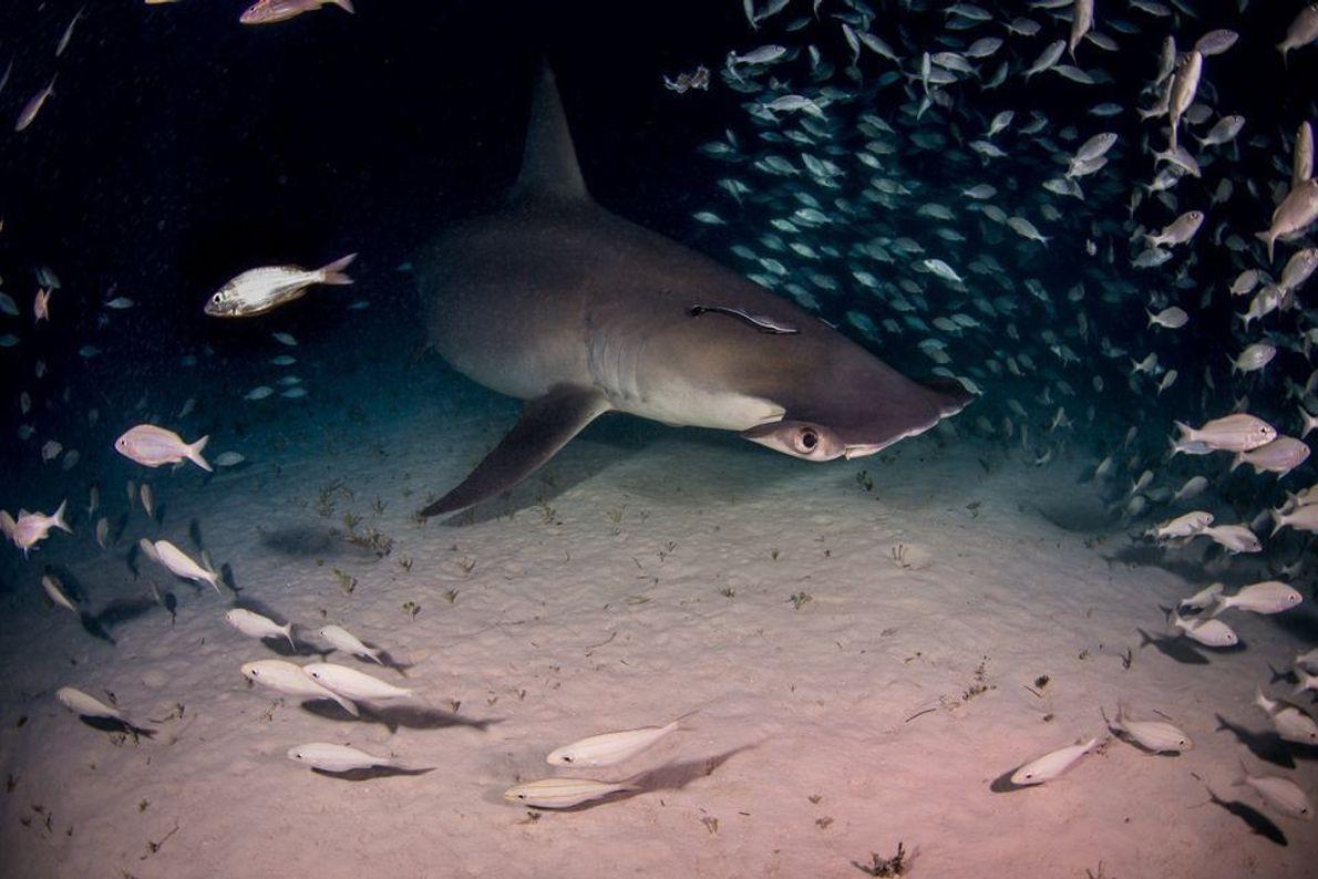 Tiburón martillo por la noche