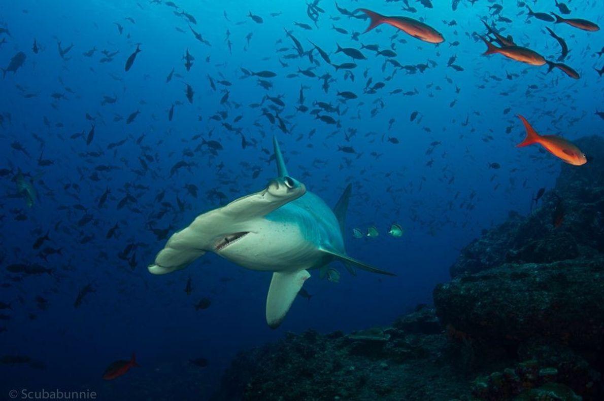 Tiburón martillo pillado por sorpresa