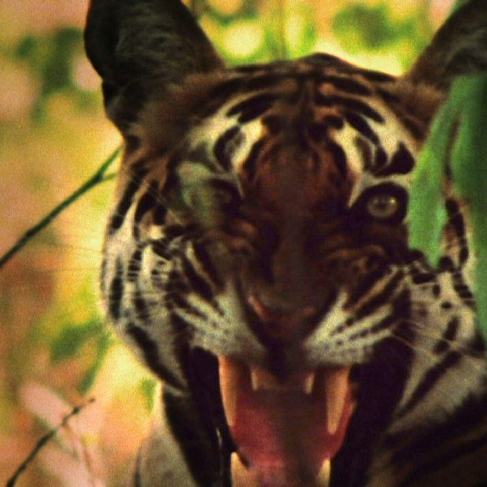 Una tigresa ataca a un grupo de monos