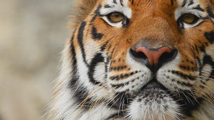 Tigres 101