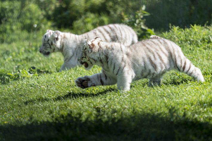 Tigres blancos 02