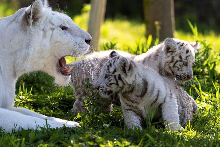 Tigres blancos sendaviva