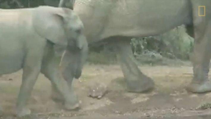 Esta es una tortuga con suerte. Evitó por los pelos que una manada de elefantes la ...