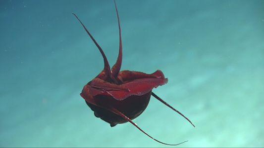 Un misterioso calamar grabado en las profundidades del Golfo de México