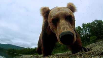 Un oso cae en una trampa de furtivos