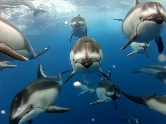 Una cámara graba a un banco de delfines de costados blancos