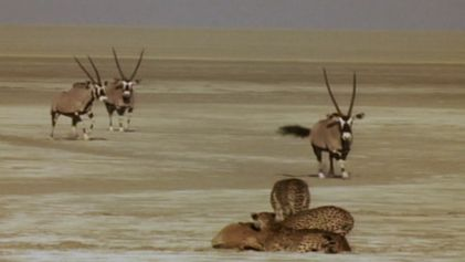 Un grupo de guepardos hermanos intenta cazar órices