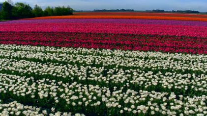 Campos de tulipanes
