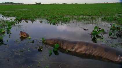 Una anaconda devora una presa enorme