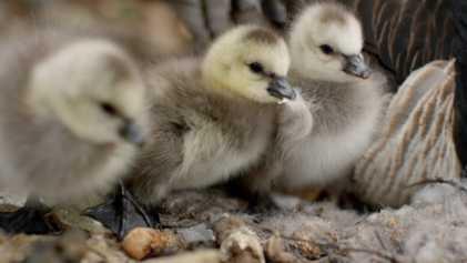 Así son los primeros pasos de una cría de ganso