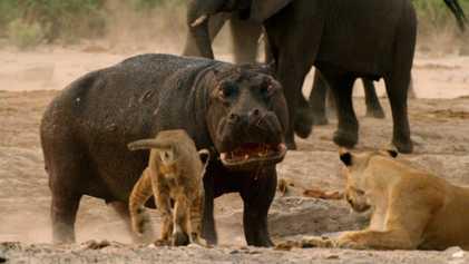 Vídeo: Un hipopótamo se enfrenta a una manada de leones