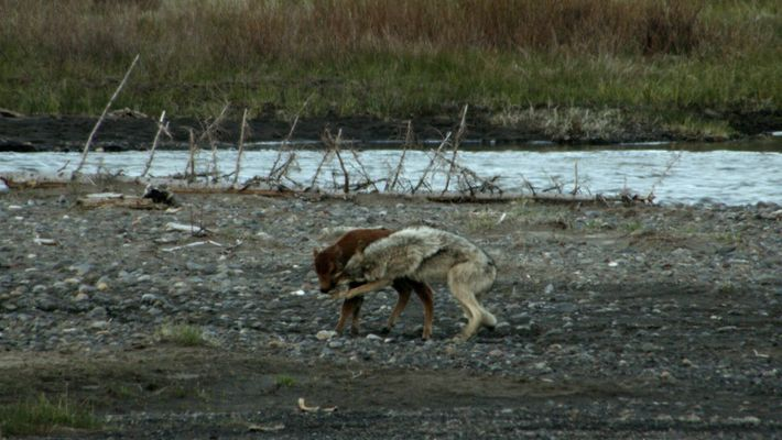 Una cría de bisonte se enfrenta a un lobo y gana