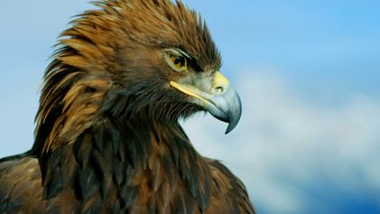 La majestuosa águila real