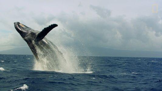 """Así son las """"carreras de calor"""" de las ballenas jorobadas"""