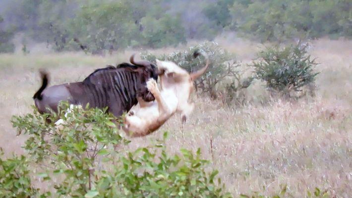 Dos leones intentan cazar a un ñu encabritado