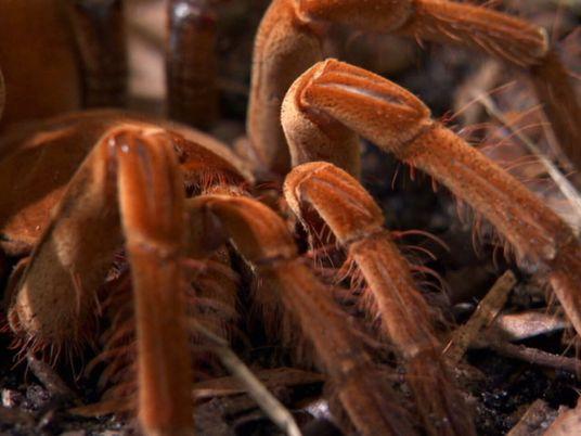 Vídeo: Observa cómo la araña más grande del mundo inmoviliza a sus presas y mantiene alejados ...