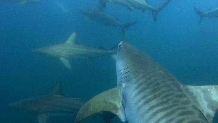 ¿Atrae el chapoteo de estos cerdos en zona de bañistas a los tiburones?