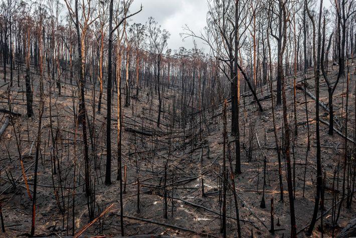 Bosque tras un incendio en Australia
