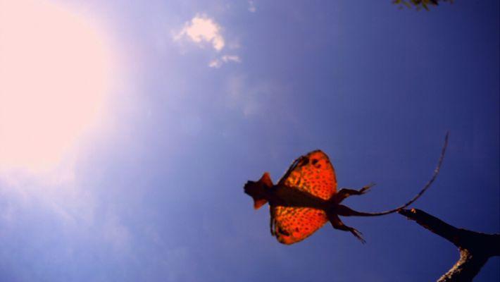 Así planea el dragón volador