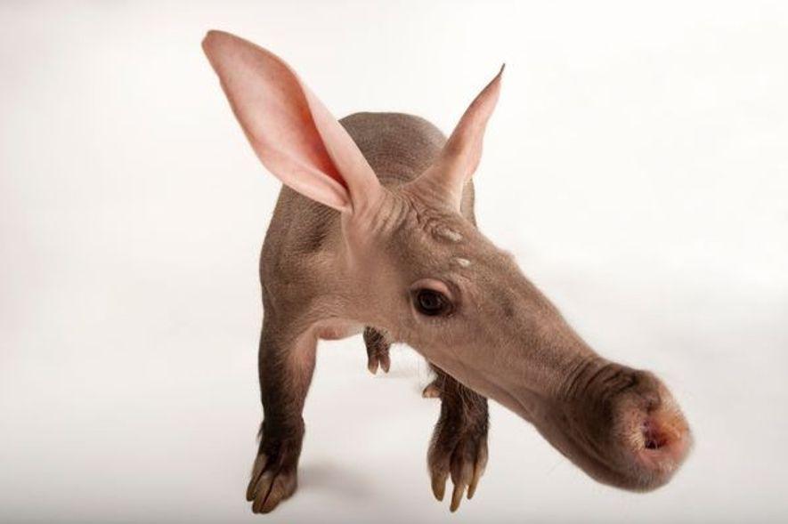El hocico del cerdo hormiguero tiene un gran tamaño para albergar una lengua enorme y pegajosa, …