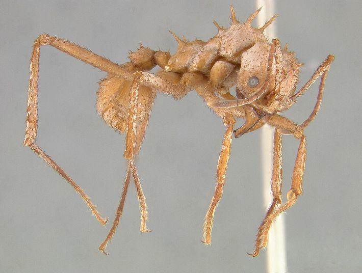 Coraza de la Acromyrmex echinatior