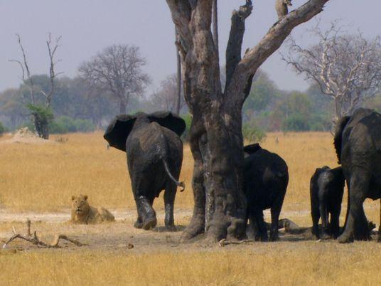 Una manada de elefantes carga contra unos leones