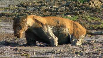 Unos leones se adentran en el lodo peligroso para capturar a un búfalo atrapado