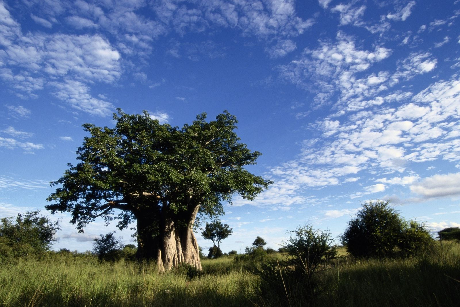 Un enorme baobab