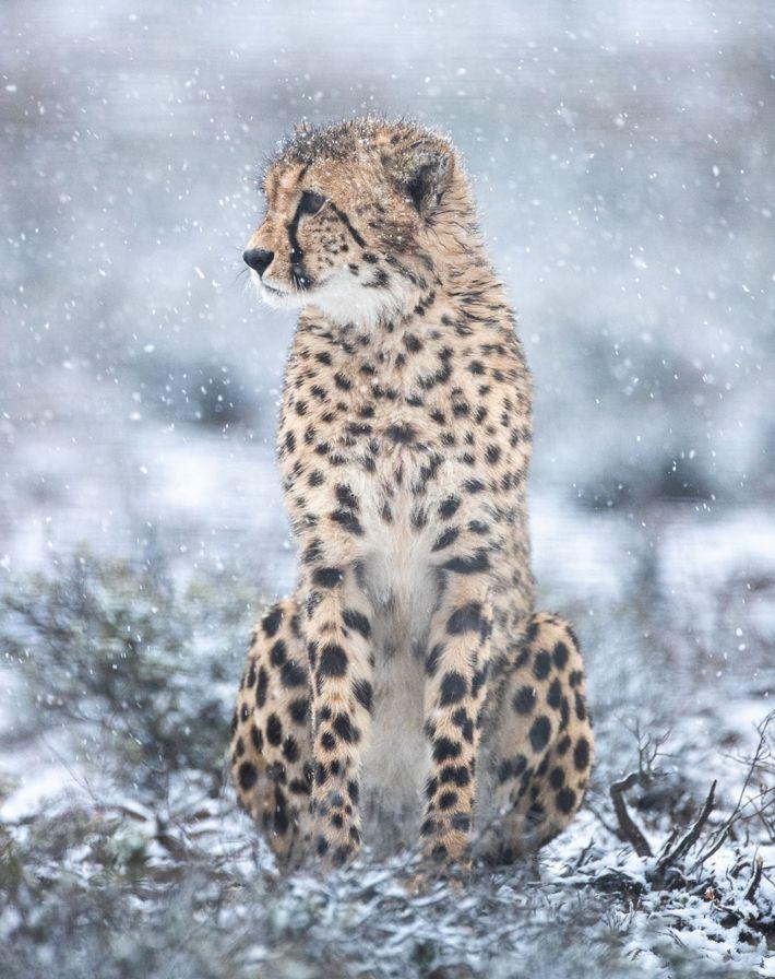Un guepardo macho