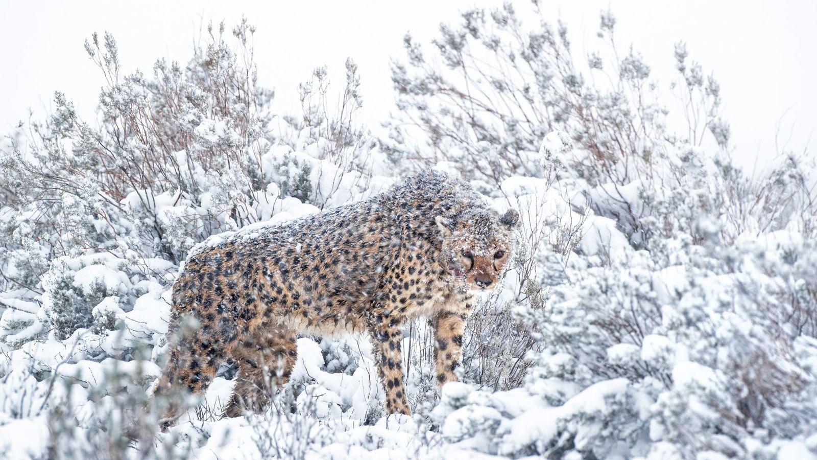 Guepardo hembra en la nieve