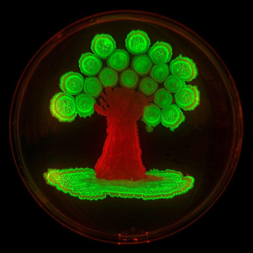 Los genes de proteínas fluorescentes introducidos en dos cepas de Bacillus subtilis dotaron de brillo a ...