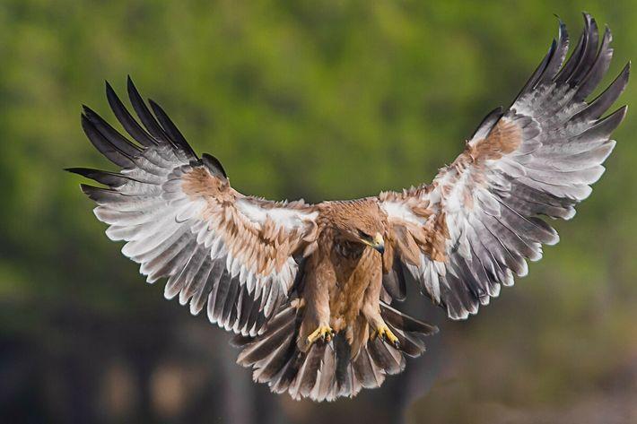 Aves amenazadas águila imperial