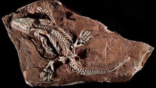 Un biorrobot muestra cómo caminaba un animal que vivió hace 300 millones de años