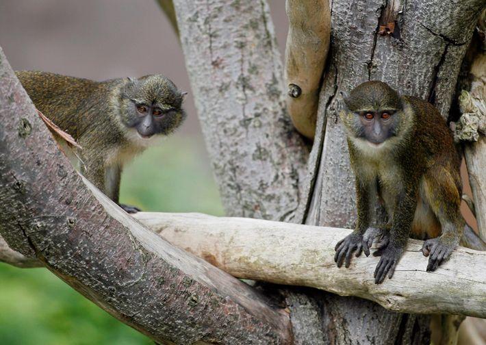 Monos de Allen