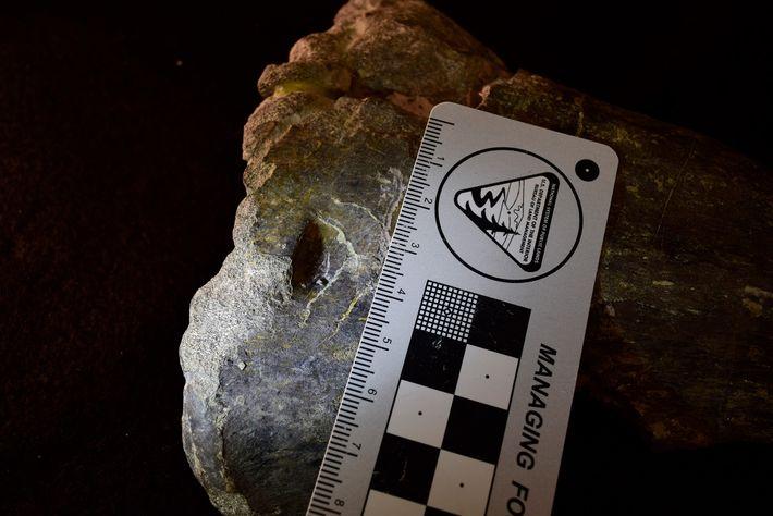 Tibia de unAllosaurus