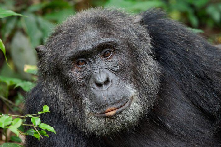 Chimpancés de Uganda
