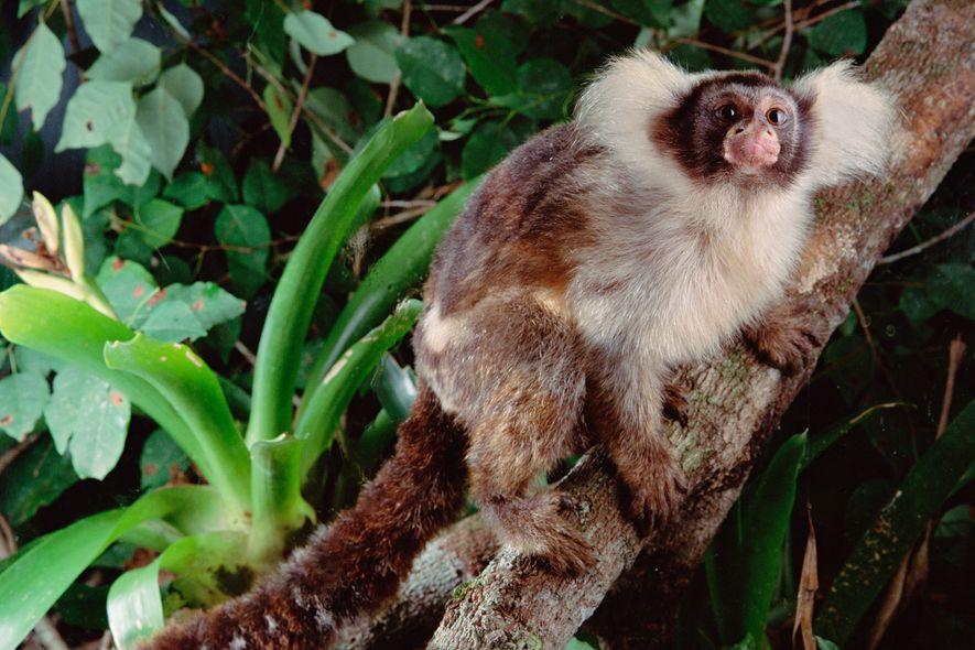 Un tití oreja de Santarém en un bosque brasileño sano. Algunas especies de monos descubiertas recientemente ...