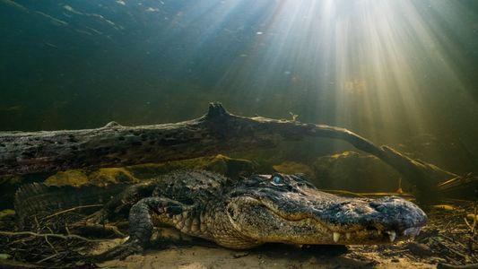 Los aligátores son capaces de regenerar sus colas